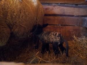 Première agnelle 2